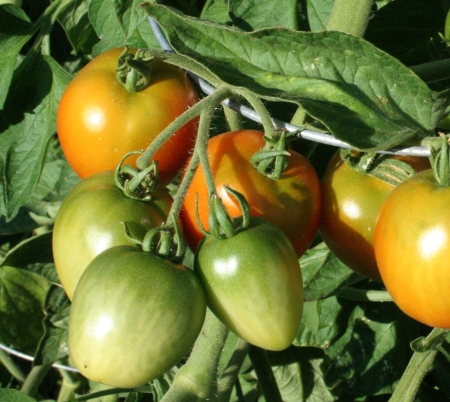tomatoes_on_the_vine_by_cyborgsuzystock